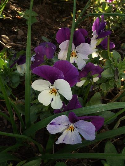 Violas still going strong! (Viola tricolor)