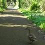 A_ducks_long_walk
