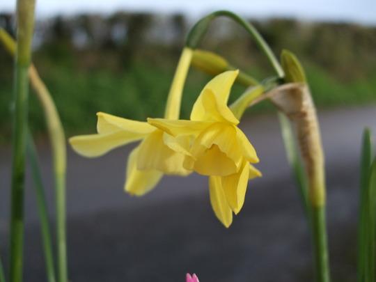Narcissus 'Hawera' (Narcissus 'Hawera')