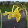 Narcissus_hawera_1