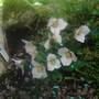 Trillium ovatum x rivale
