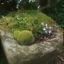 Granite trough with Trillium ovatum x rivale, Cardamine trifolium and Selaginella.