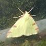 Brimstone Moth. (Opisthograptis luteolata.)