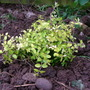 Lonicera Baggesons Gold