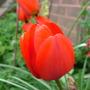 Red_tulip_2