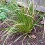 Kaffir_lily_planted_apr_09