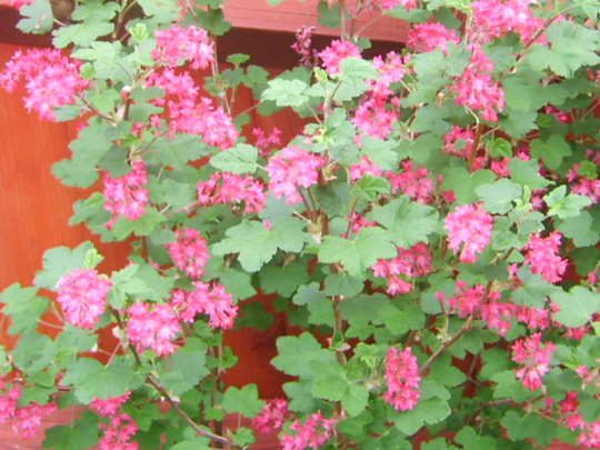 First flowers - Ribes - Thanks Blodyn for name (ribes)