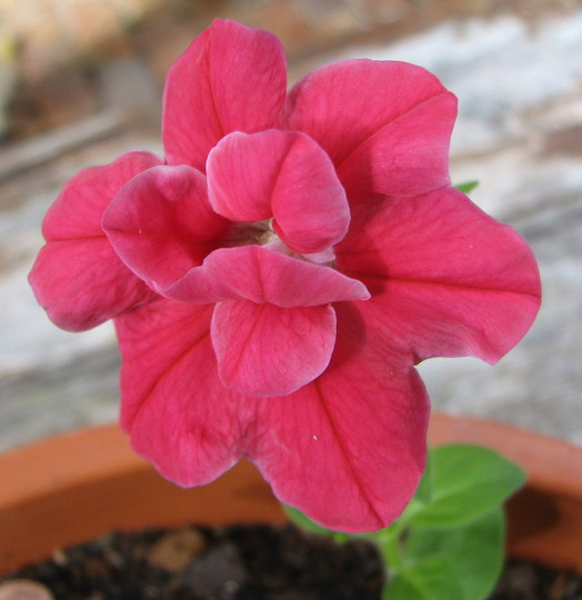 Petunia Bonanza - red