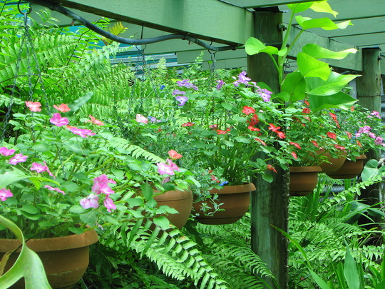 Impatiens all in a flowering row  (Impatiens walleriana (Busy Lizzie))