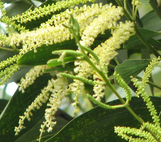 Another acacia in flower - lemon flowers this time (Acacia)