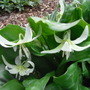 Erythronium_californicum_white_beauty_2009