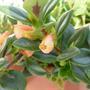 nematanthus (Nematanthus gregarius)
