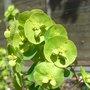 Euphorbia_amygdaloides_var_robbiae_2009