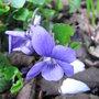 Wild_violet_darker_form_