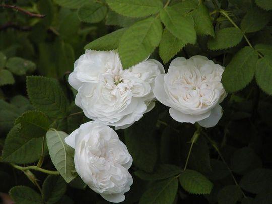 rosa Madam Hardy