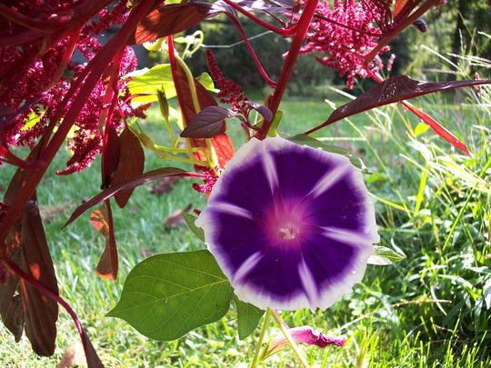 mtn. fuju morning glory and amaranthus 'intense purple'