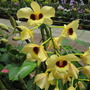 Yellow orchids in Orchidville