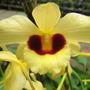 Close up of the yellow orchid