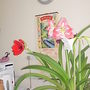 Amaryllis_3_colours_002_07-02-17.jpg