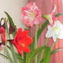 Amaryllis_3_colours_003_07-02-17.jpg
