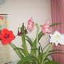 Amaryllis 3 colours 002 07-02-18 (Amaryllis)