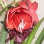 Amaryllis 07-10-05 006 (Amaryllis Hippeastrum)