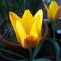 Tulipa kolpackowskiana