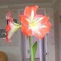 Amaryllis 08-03-01 001 (Amaryllis)