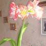 Amaryllis 08-03-04 001 (Amaryllis)