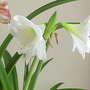 Amaryllis White 07-02-20 (Amaryllis)