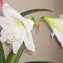 Amaryllis White (Close up) 07-02-18 (Amaryllis)