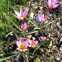 Tulipa_humilis