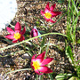 Tulipa_humilis_odalisque