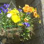 Hanging basket 31-05-08 001