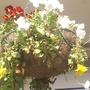 Hanging basket 31-05-08 002 (Viola x wittrockiana)