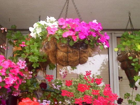 Hanging_basket_on_balcony__02-08-08_002.jpg