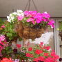 Hanging_basket_on_balcony__02-08-08_002.jpg