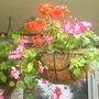 Hanging_basket_on__balcony_25-07-07_004.jpg