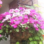 Hanging_basket_with_busy_lizzies_30_08_08_005