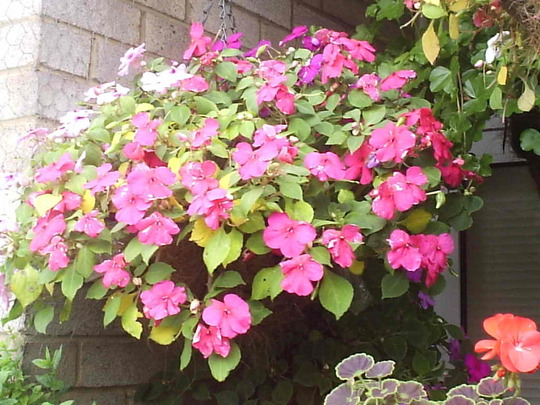 Hanging_basket_with_Busy_Lizzies__far_left__08-09-08_001.jpg