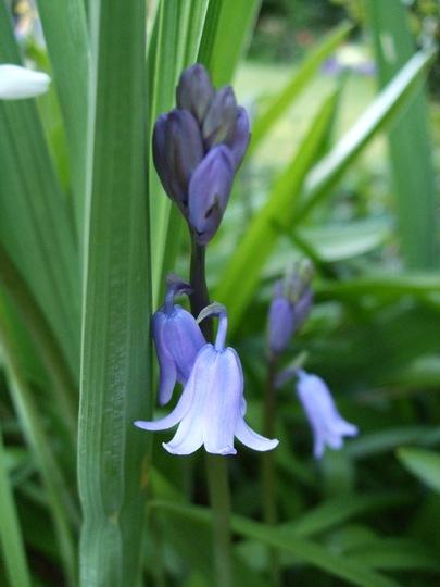 Bluebell (Hyacinthoides non-scripta (Bluebell))