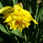 unknown double daff (Narcissus)