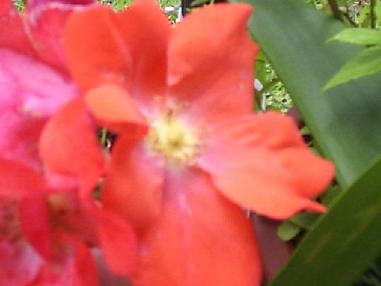 Rose_Fred_Loads_28-06-07__Close_up_.jpg