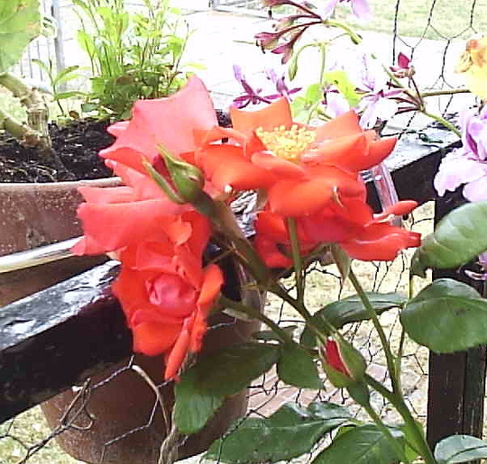 Rose_Fred_Loads__1st_blooms__08-07-06.jpg