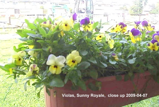 Violas_on_balcony_2009-04-07_003.jpg