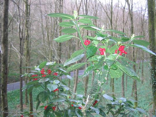 laurel with berries