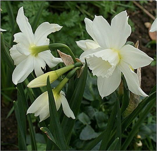 Thalia (Narcissus triandrus)