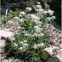 Leontopodium souliei