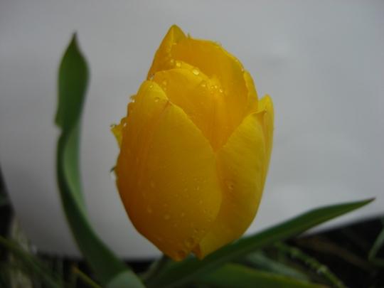 Dad's tulip