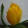 Dads_tulip